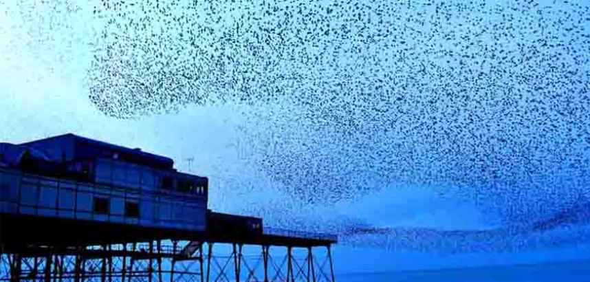 starlings image