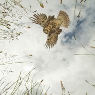 British Wildlife Photography Awards 2016, Jamie Hall, Prey's Eye View (Little Owl)