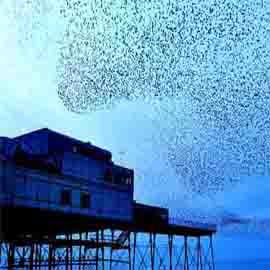A starling murmuration, above Aberystwyth Pier. The image is various shades of blue.
